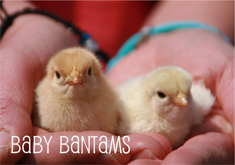 Baby Bantams